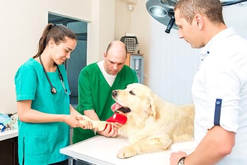 Vet doing a bandage at dog